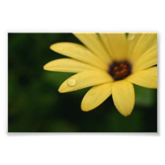 Yellow african daisy flower photograph print art