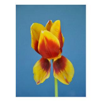 Yellow and 0range single tulip. postcard