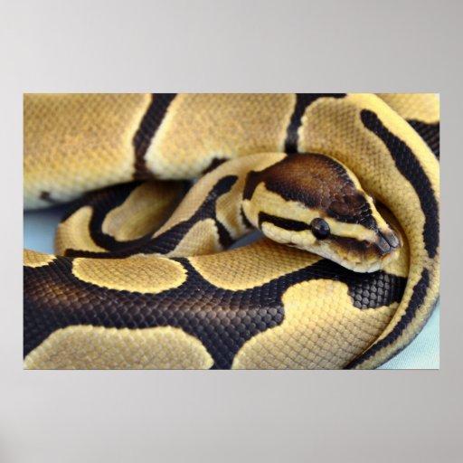 Yellow and Black Ball Python 3 Poster