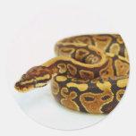 Yellow and Black Ball Python Classic Round Sticker