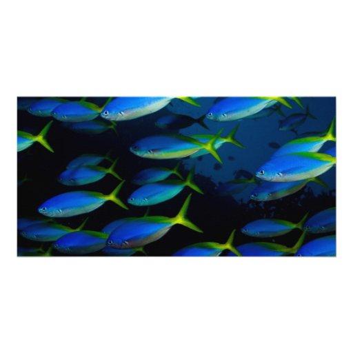 Yellow and blueback fusil fish in Fiji Photo Card