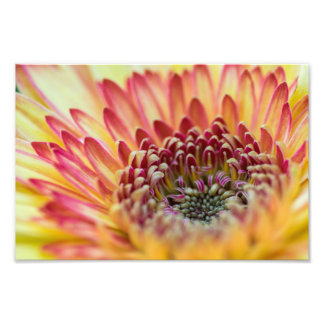 YELLOW AND ORANGE GERBER DAISY by Michelle Diehl Photograph