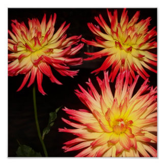 Yellow and Red Dahlia Print