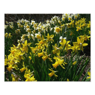 Yellow and White Daffodils Spring Flowers Photograph
