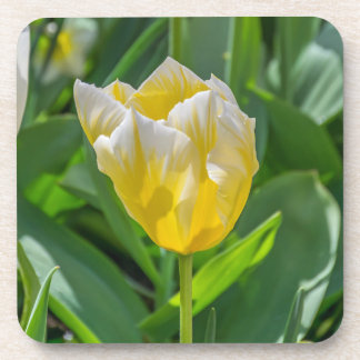 Yellow and white tulip hard plastic coasters