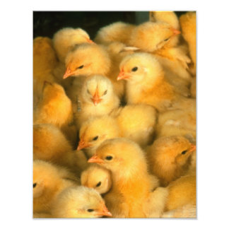 Yellow Baby Chicks Photo Print