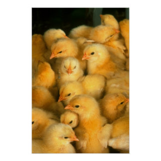 Yellow Baby Chicks Poster