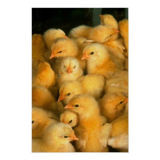 Yellow Baby Chicks Poster