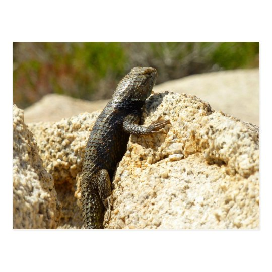Yellow-Backed Spiny Lizard at Joshua Tree Postcard