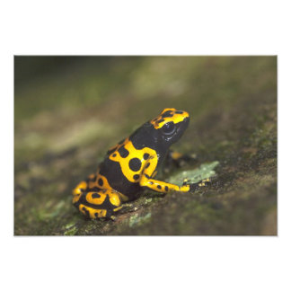 Yellow-banded Poison Dart Frog Dendrobates Photograph