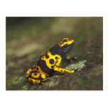 Yellow-banded Poison Dart Frog Dendrobates Postcard