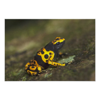 Yellow-banded Poison Dart Frog Dendrobates Posters