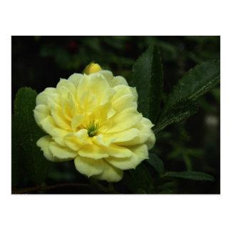 Yellow Banksia Rose Postcard