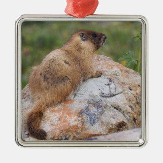 Yellow-bellied Marmot, Marmota flaviventris, Square Metal Christmas Ornament