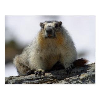 Yellow Bellied Marmot Postcard