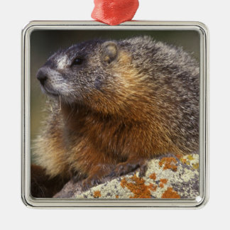 Yellow-bellied Marmot, Yellowstone NP, WY, USA Silver-Colored Square Decoration
