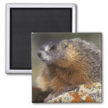 Yellow-bellied Marmot, Yellowstone NP, WY, USA Square Magnet