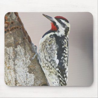 Yellow-bellied Sapsucker male feeding on sap Mouse Mat
