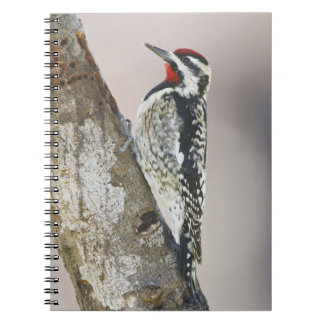 Yellow-bellied Sapsucker male feeding on sap Notebooks