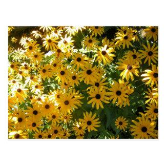 Yellow Black Eyed Susans Postcard