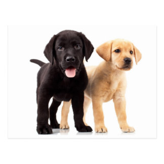 Yellow & Black Labrador Retriever Puppy Postcard