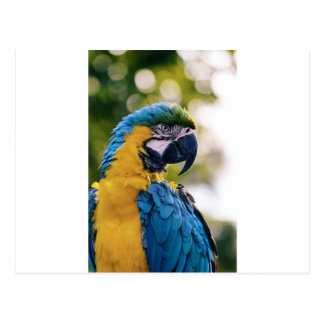 Yellow Blue Macaw Parrot Postcard