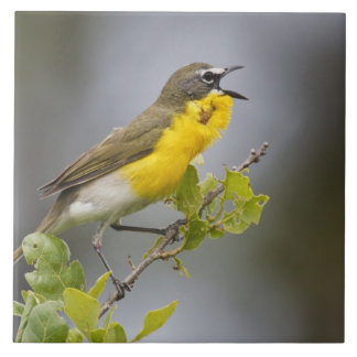 Yellow-breasted Chat (Icteria virens) singing on Tile