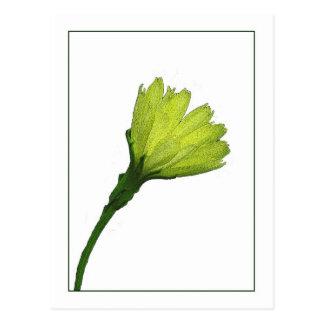 Yellow Buttercup Botanical Photo-sketch Postcard