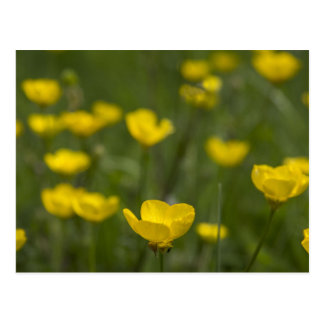 Yellow Buttercup Flowers Postcard