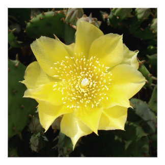 Yellow Cactus Prickly Pear Flower Photo Print