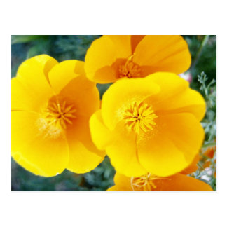 yellow California poppies in full bloom flowers Postcard
