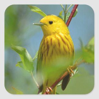Yellow Canary Square Sticker