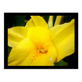 Yellow canna lily flower postcard