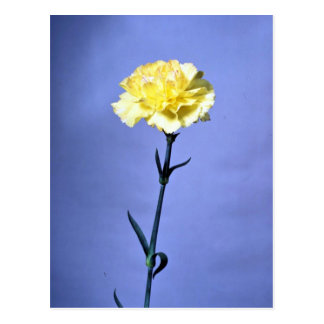 Yellow carnation postcard
