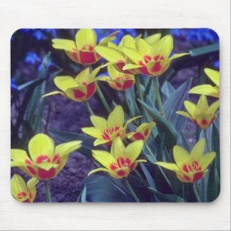 yellow Cesar Frank Tulip, (Tulipa Kaufmanniana) fl Mouse Pads