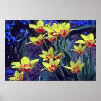 yellow Cesar Frank Tulip, (Tulipa Kaufmanniana) fl Posters