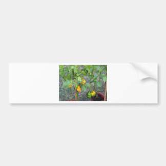 Yellow chili peppers bumper sticker