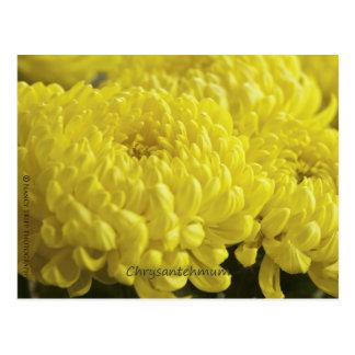 Yellow Chrysanthemum Macro Photograph Postcard