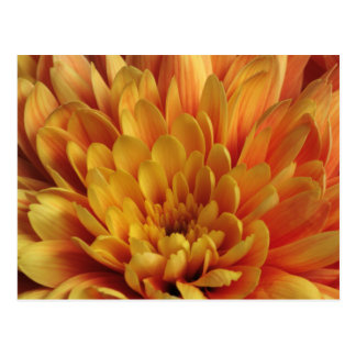 Yellow Chrysanthemum Postcard