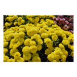 yellow Chrysanthemums flowers Poster