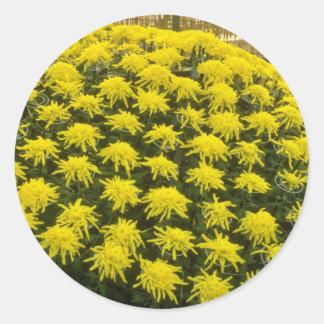 yellow Chrysanthemums in Japanese garden, Japan fl Round Sticker