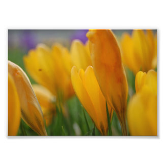 Yellow crocus photo print