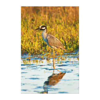 Yellow-Crowned Night-Heron (Nyctanassa Violacea) Canvas Print