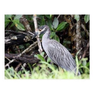 Yellow-Crowned Night Heron Postcard