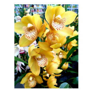 Yellow Cymbidium Orchids Postcard