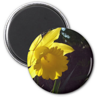 yellow daffodil flower in the sunlight refrigerator magnets