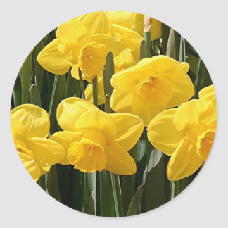 Yellow Daffodil flowers in bloom Classic Round Sticker