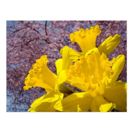 Yellow Daffodil Flowers postcards Tree Blossoms