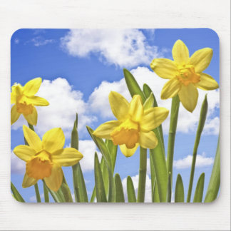 Yellow daffodils in spring in the Netherlands Mouse Mat