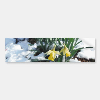 Yellow Daffodils in the snow Bumper Sticker
